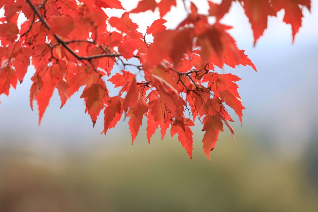 見頃の紅葉の写真